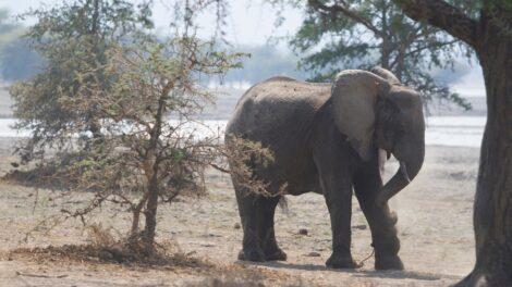 Malawi Elephant 2